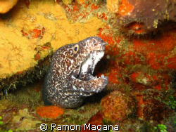 ANOTHER PRETTY MOREY EEL POSSING FOR MY CAMERA... by Ramon Magana