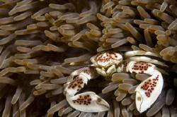 Porcelain crab by Andy Lerner