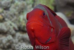 Spine-cheek Anemonefish by Robin Wilson