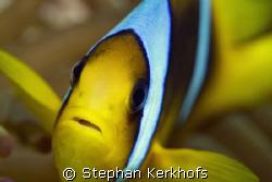 Red sea anemonefish (Amphipiron bicinctus) taken with 180... by Stephan Kerkhofs