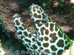 Leopard Moray taken in Mussamdam, Oman. Shot using Canon ... by Brendon Baines