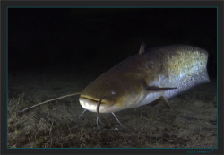 Last week on a night dive this young wels catfish stayed ... by Sven Tramaux