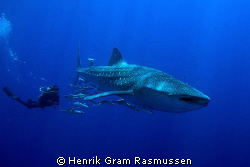 """""""Close encounter"""" - a 9m whaleshark decided to spend his ... by Henrik Gram Rasmussen"""