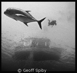 giant kingfish coming to meet the divers as they descend by Geoff Spiby