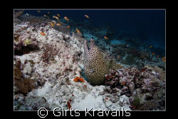 Moray on the bottom by Girts Kravalis