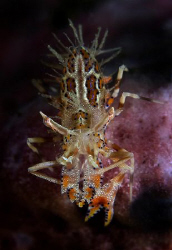 Tiger Shrimp from Lembeh. by John M Akar