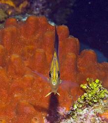 Longsnout Butterflyfish (Chaetodon aculeatus) on Little C... by Deborah Chambers