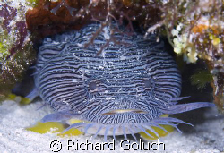 Splendid Toadfish-Cozumel-Canon 5D 100 mm macro by Richard Goluch