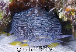 Splendid Toadfish-Cozumel-Canon 5D 100 mm macro by Richard Goluch