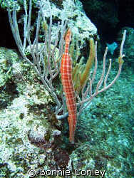Trumpetfish seen in Grand Cayman July 2008.  Photo taken ... by Bonnie Conley