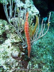 Trumpetfish seen in Grand Cayman July 2008.  Photo taken ... by Bonnie Conley