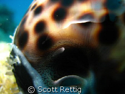 Close up of a Tiger Cowry..South side, Oahu by Scott Rettig