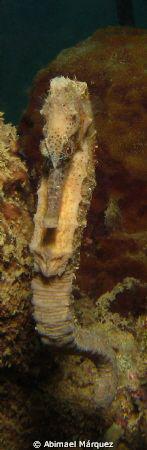 Seahorse, Sugar Pier by Abimael Márquez