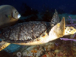 Turtle with favorite partner:  Gray Angelfish! by Walt Hill