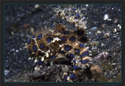 Blue-ringed Octopus probably (Hapalochlaena lunulata) by Sven Tramaux