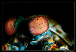 The Peacock Mantis Shrimp has one of the most complex eye... by Kay Burn Lim