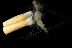 A temperate shrimp attempts to clean a burnt cigarette butt by Cal Mero