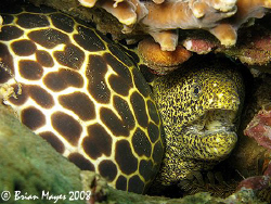 These two morays moved together as one moray and made me ... by Brian Mayes