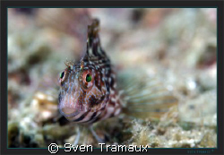 The curious look of a Blenny by Sven Tramaux