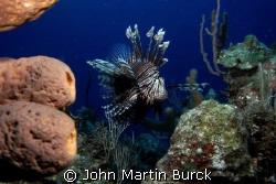 Vigilant Specter - The Lionfish has invaded the atlantic ... by John Martin Burck