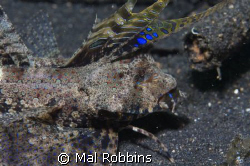 this was taken in Lembeh straights Dec 30th 2008 and is p... by Mal Robbins