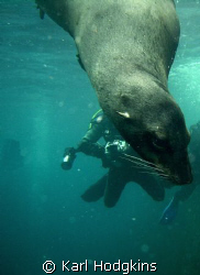 Seals checking out the divers by Karl Hodgkins