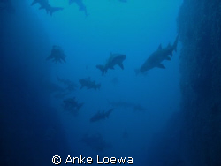 Sharks everywhere!!! My favourite dive site. Good condit... by Anke Loewa