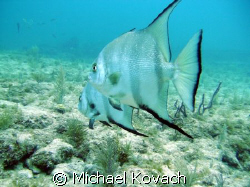 Spade Fish on the first reef line off Lauderdale by the Sea by Michael Kovach
