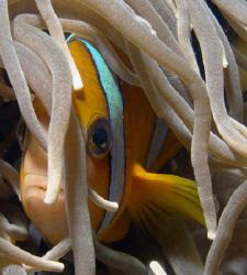 Shy Anemonefish by Martin Dalsaso