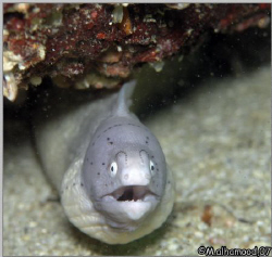 Surprise..... Peppered Moray or White Moray took it whe... by Mohammed Al Hamood