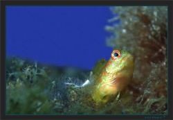 A blenny looking after it's territory, probably Parablenn... by Sven Tramaux