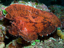 Leaf Scorpionfish (Taenianotus triacanthus) - Crystal Bay... by Marco Waagmeester