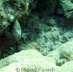 Damsel fish on the Inside Reef at Lauderdale by the Sea by Michael Kovach