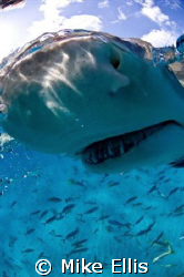 Bad Teeth.... Up Close and personal with a 7 foot lemon s... by Mike Ellis