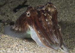 Cuttlefish. Cornwall. D200, 60mm. by Derek Haslam