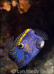 Spotted Box Fish.  Usually very shy, this spotted box fis... by Lyn Hardy