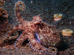 """""""I Am Strong!"""" - Veined Octopus with Bodybuilder Pose - P... by Marco Waagmeester"""
