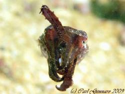Baby cuttle fish by Carl Gennaro