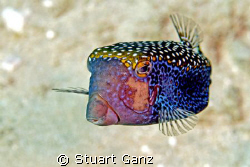 Blue Spotted Boxfish by Stuart Ganz