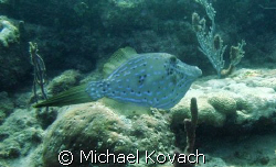Scrawled Filefish on the Inside Reef at Lauderdale by the... by Michael Kovach