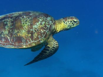 Green turtle taken off Lady Elliot Island, Australia by Don Bruschera