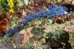 Pteraeolidia ianthina, D300, ISO 200, 1/125, f14 by Larry Polster