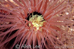 Tube anemone.Nikon F100,60mm,f27.1/125,YS-120,RVP100. by Allen Lee