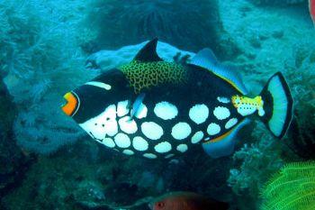 Philippines, Puerto Galera: a clown trigger fish; Nikon C... by Ugo Gaggeri