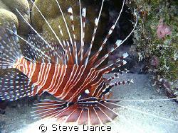 Zebra Lionfish: Taken while exploring bommey during safet... by Steve Dance