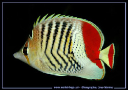 An Orange Butterflyfish taken in the waters of the Red-Se... by Michel Lonfat