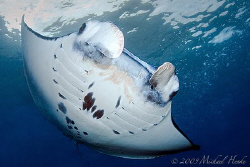 Manta birostris really close. by Michael Henke