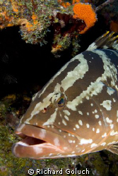 Nassau Grouper-Canon 5D 17-40 mm by Richard Goluch