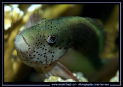 The look of the Spotted Hawkfish resting on it's coral...... by Michel Lonfat