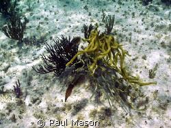 Caribbean Reef Squid by Paul Mason